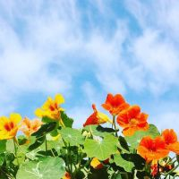 Nasturtium 'Tall Climbing Mix' Seeds