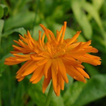 Calendula officinalis Plant (Pot Marigold)