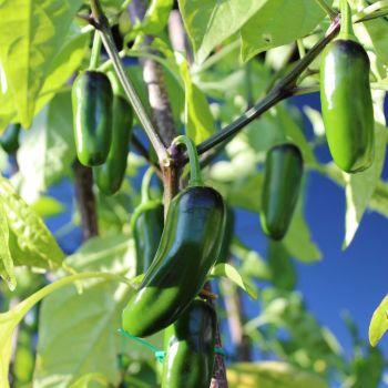Chilli 'Jalapeño' Seeds (Organic)