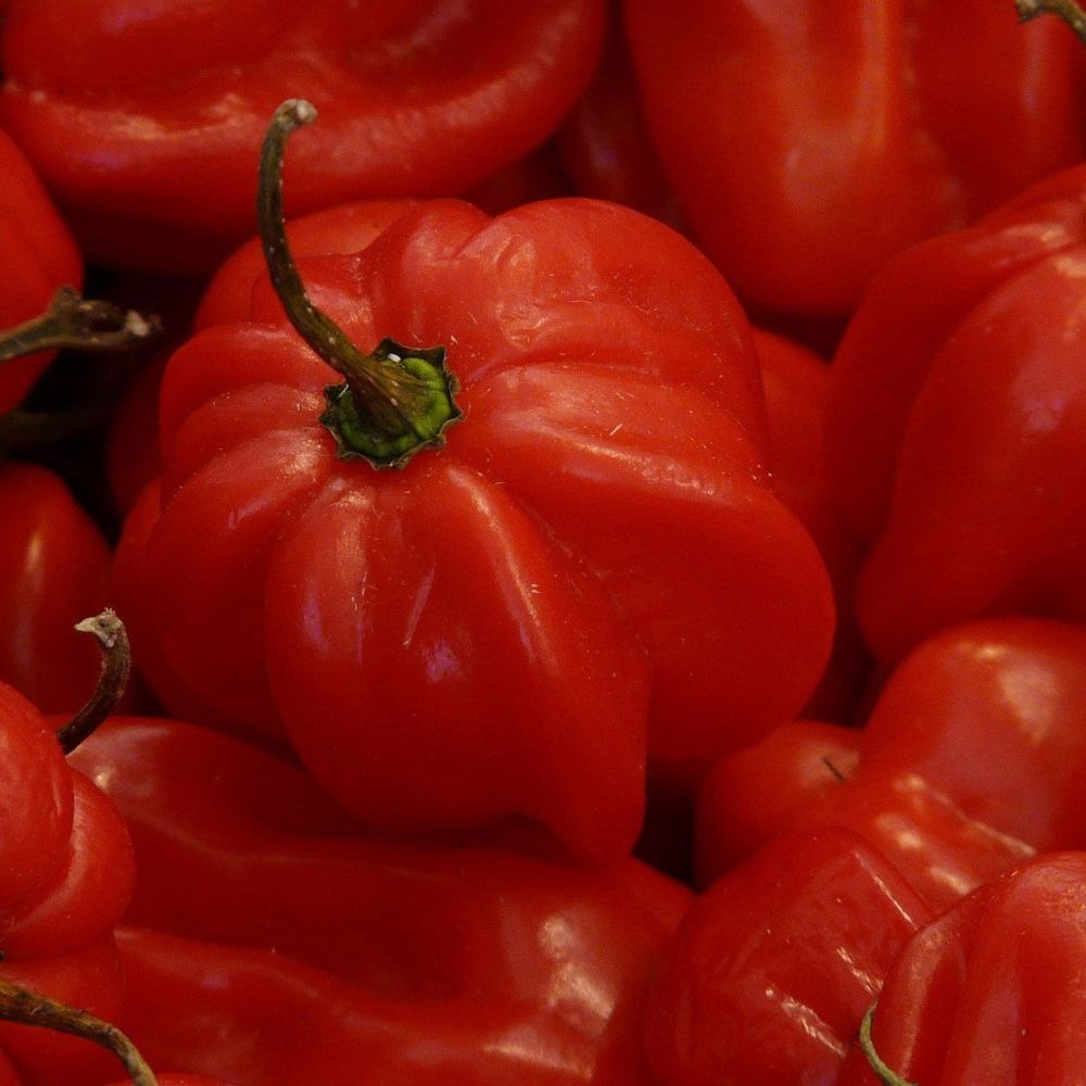 Chilli 'Scotch Bonnet Red' Seeds