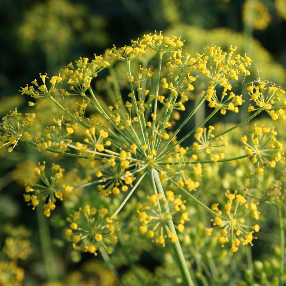 Dill 'Mammoth' Seeds (Organic)