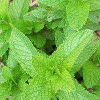 Peppermint Seeds