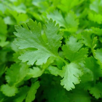 Parsley - 'Italian Giant' Seeds