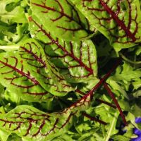 Sorrel - 'Red Veined' Seeds