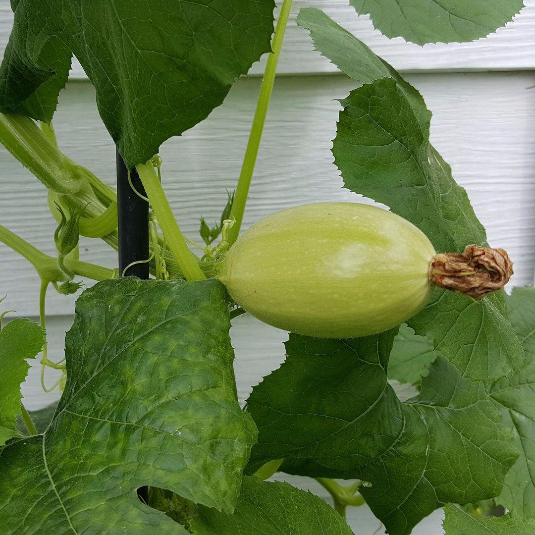 Squash - 'Spaghetti' Seeds