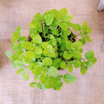 Golden Marjoram Plant