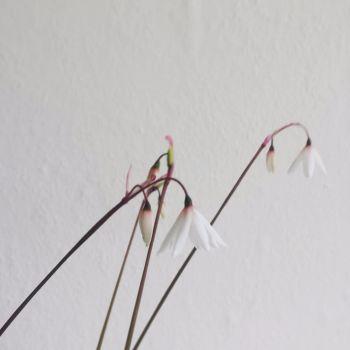 Acis autumnalis var. oporanthus