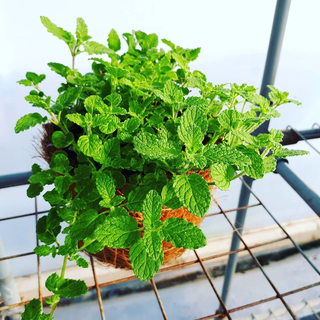 Strawberry Mint Plant