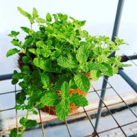 Mint, Strawberry Plant