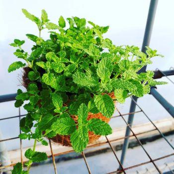 Mint (Strawberry) Plant