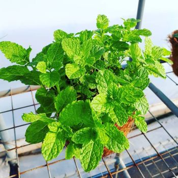 Mint, Moroccan Plant