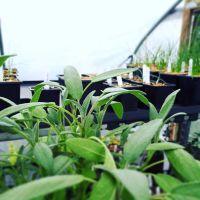 Broad Leaved Sage Plant