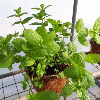 Mint (Peppermint) Plant