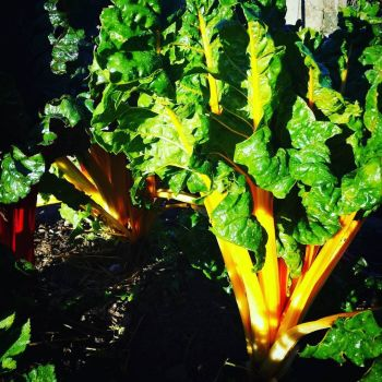 Chard 'Bright Lights' Seeds