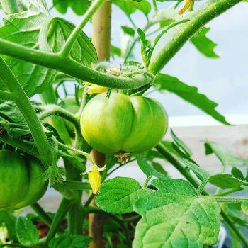 Tomato 'San Marzano' Seeds