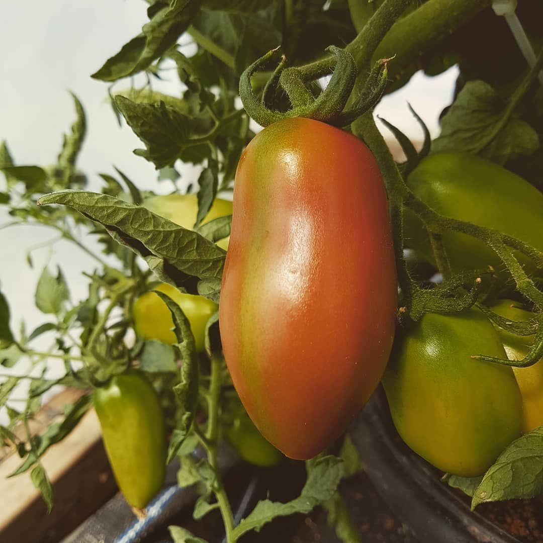 Tomato 'Super Marmande' Seeds