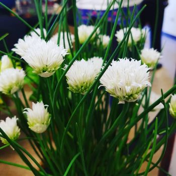 Chive, White Flowered Plant