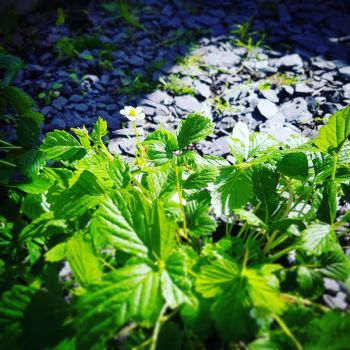 Strawberry 'White Soul' Plant