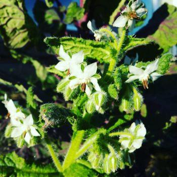 Borage, White Plant
