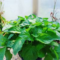 Mint, Grapefruit Plant