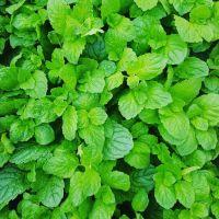 Mint, Apple Plant