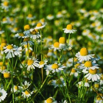 Chamomile Seeds (Organic)