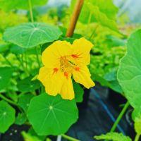 Nasturtium 'Tall Climbing Mix' Seeds