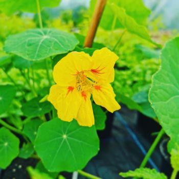 Nasturtium, Climbing Plant