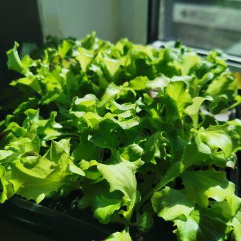 Lettuce - 'Baby Leaf Mix' Seeds