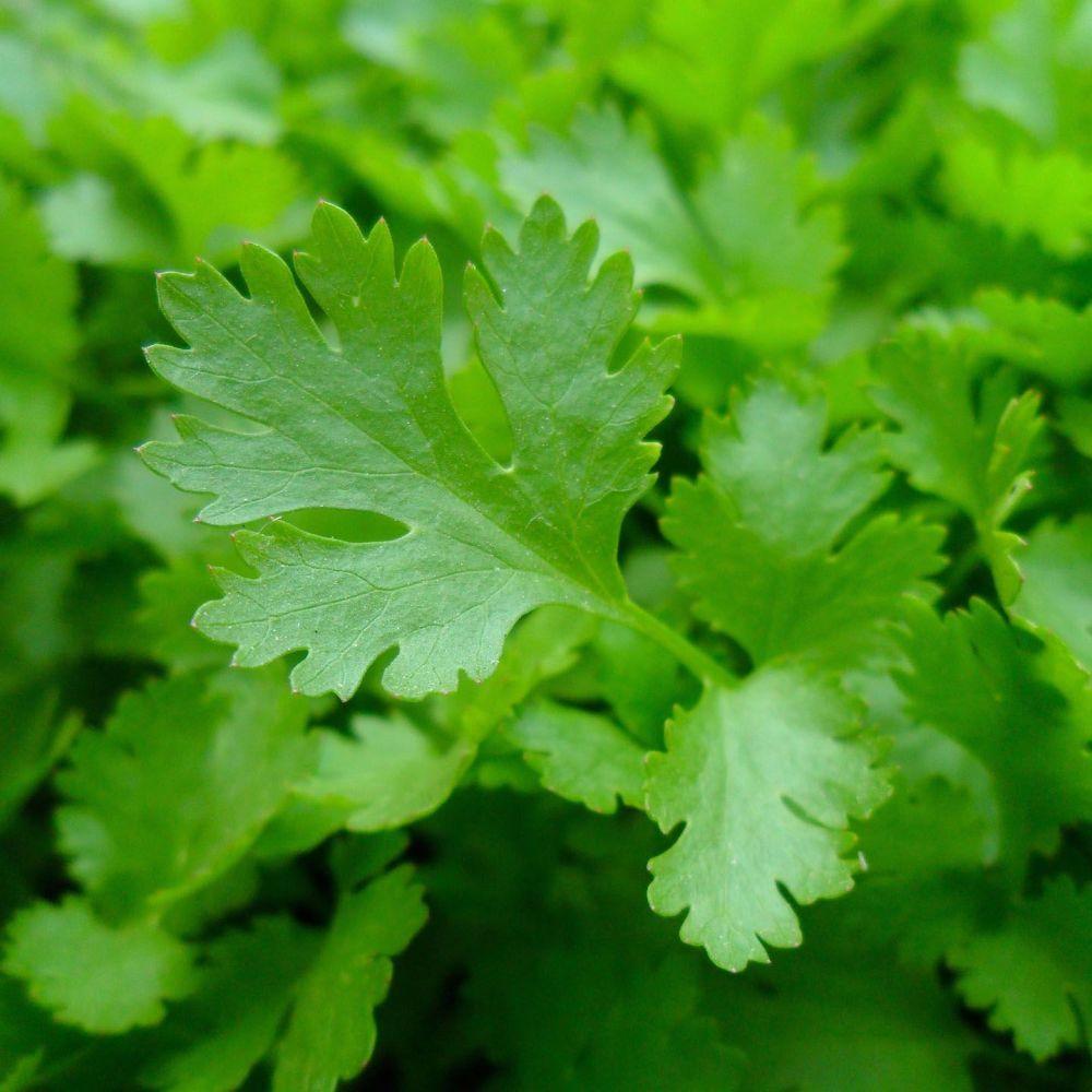 Parsley - Flat Leaf (Organic)