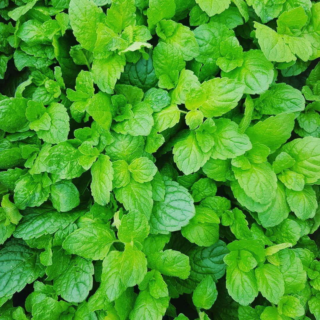 Applemint Seeds