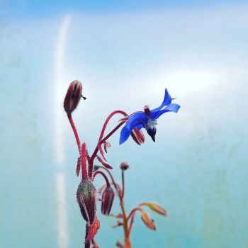 Borage, Blue Plant