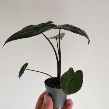 Alocasia 'Yucatan Princess ' Plant