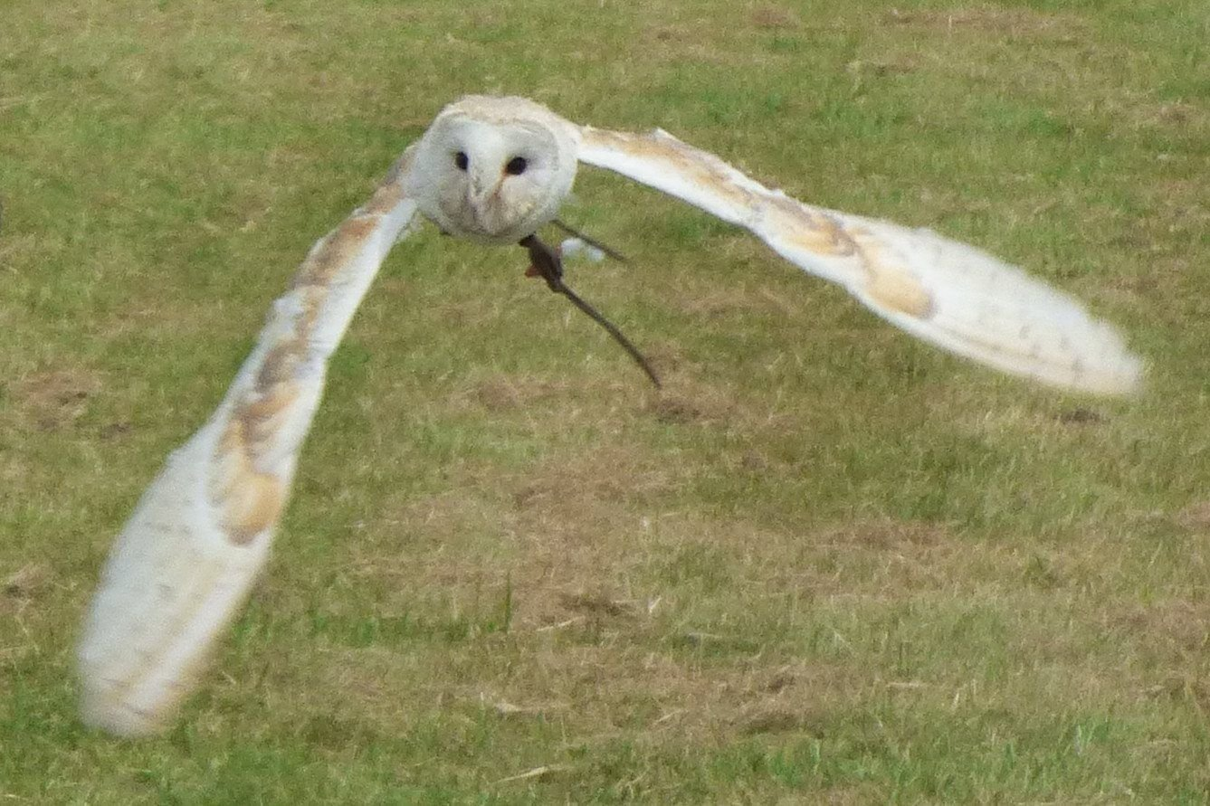 Owl at Templecombe