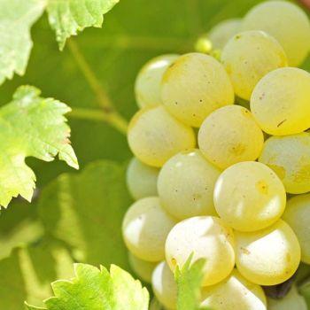 Sunday Wine Club: Chardonnay (22nd April)
