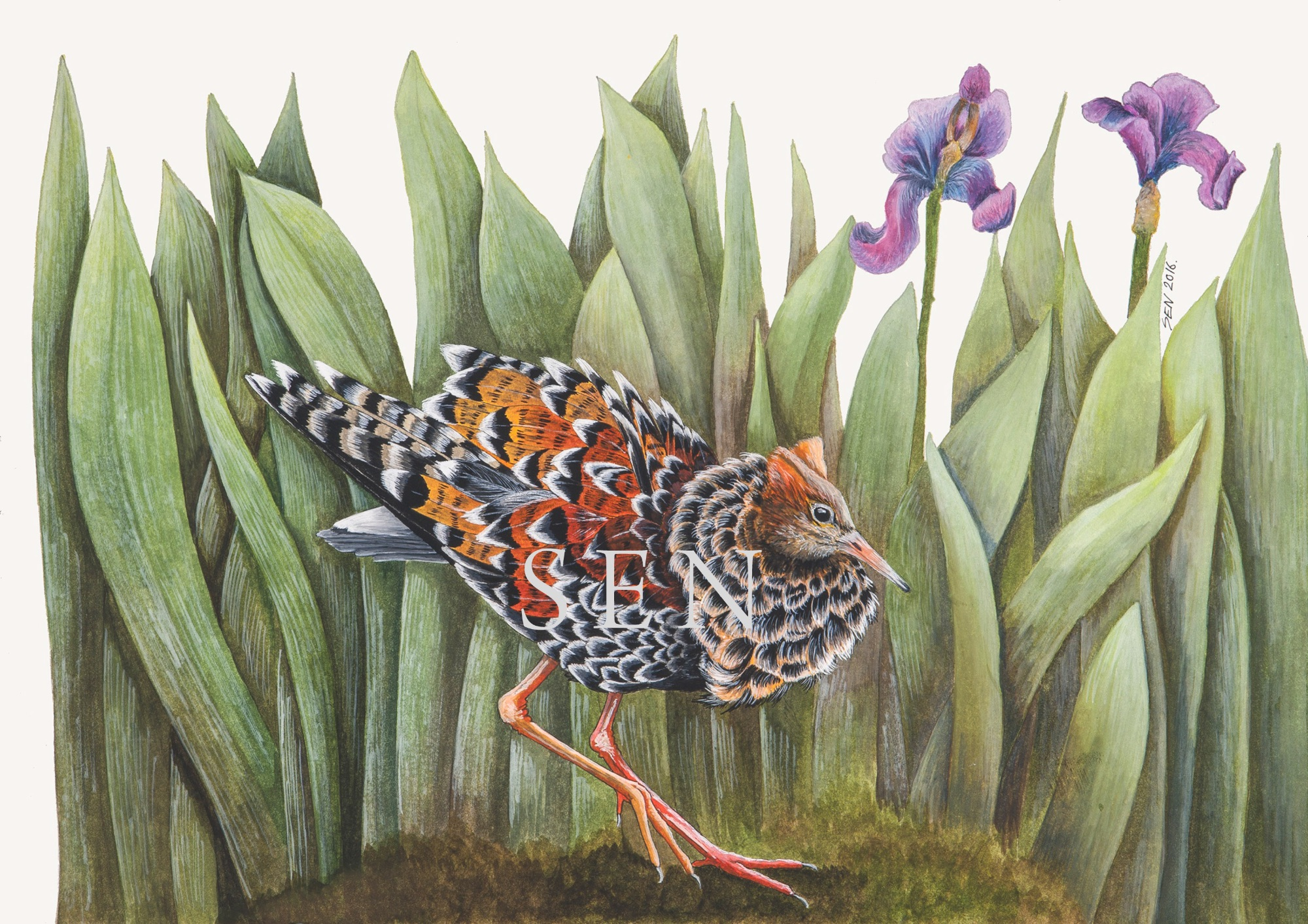 Ruffs Lek bird painting