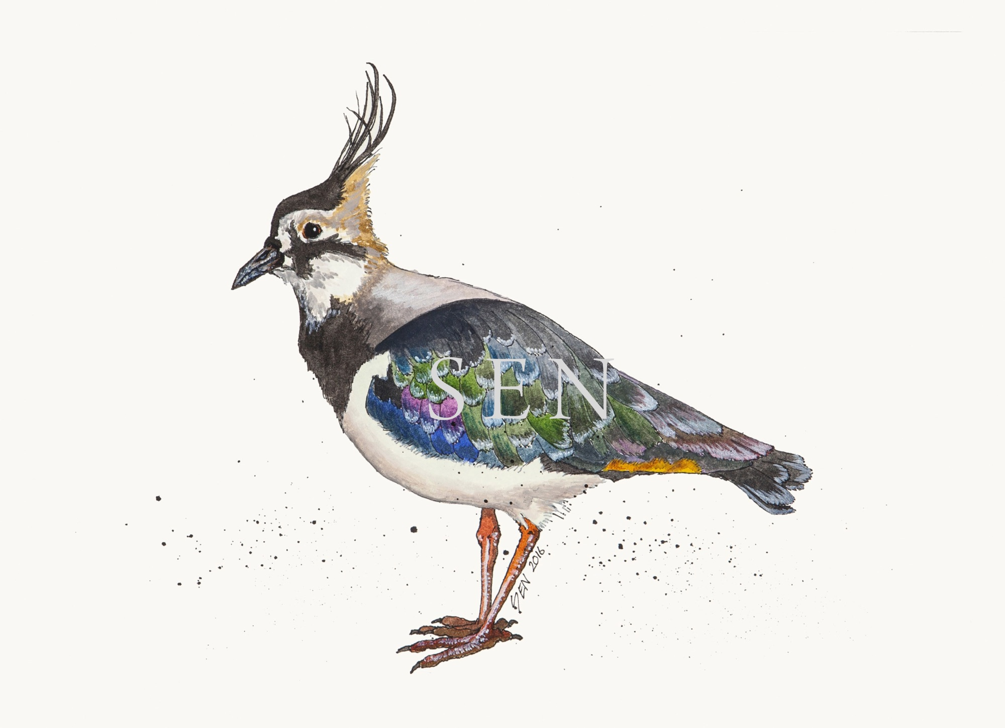 Lapwing bird painting