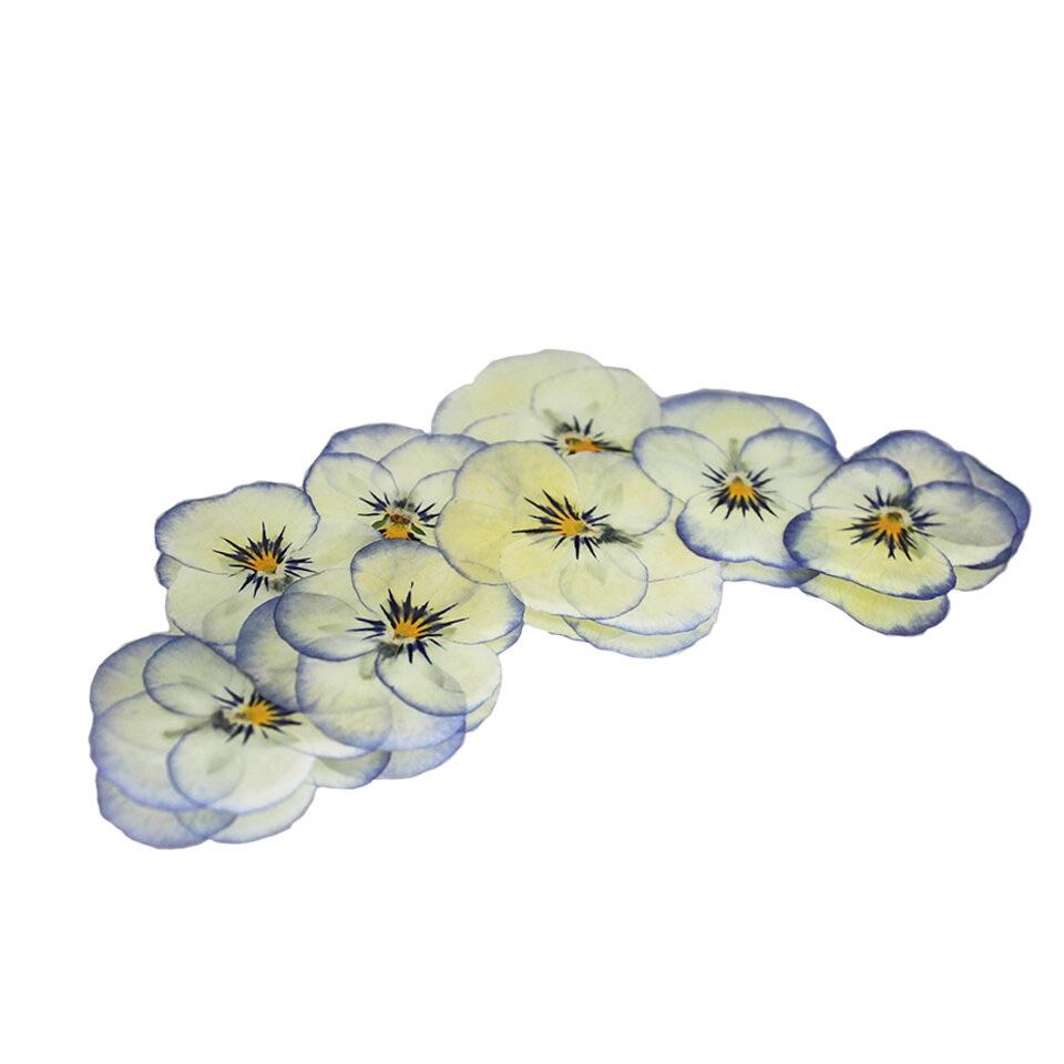 Pressed Viola - Cream and Blue
