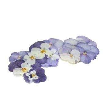Pressed Viola - Pale Purple and Cream