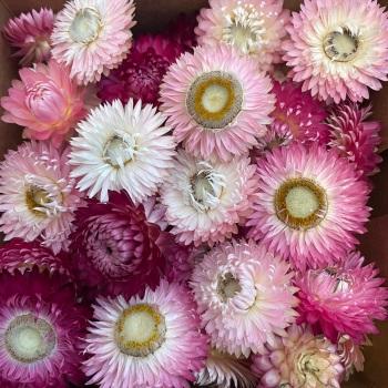 Strawflowers - Mixed Pinks