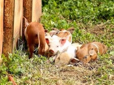 Pigs at Oakley Grange