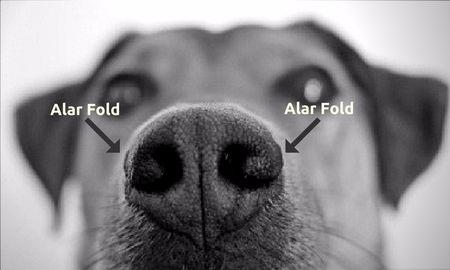Canine Alar Fold