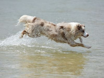 Dog Leaping Through Water