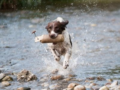 Springer Spaniel Retrieving