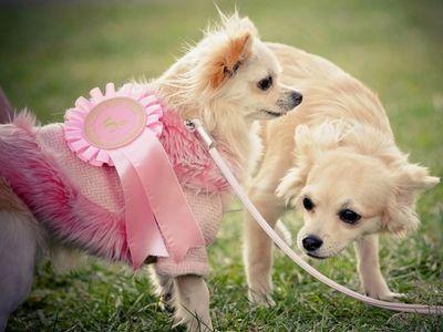 Prize-Winning Chihuahua