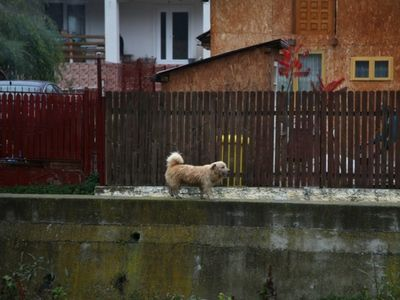 Street Dog in Romania