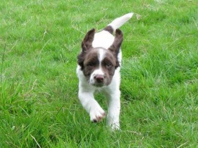 Spaniel puppy, Enzo, recalling