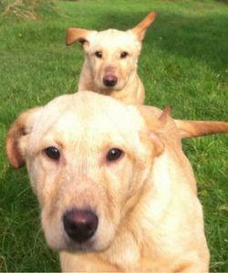 Labrador puppies recalling