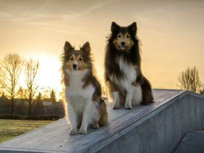 Shelties sitting in sunset