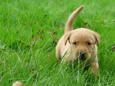 Labrador in the grass
